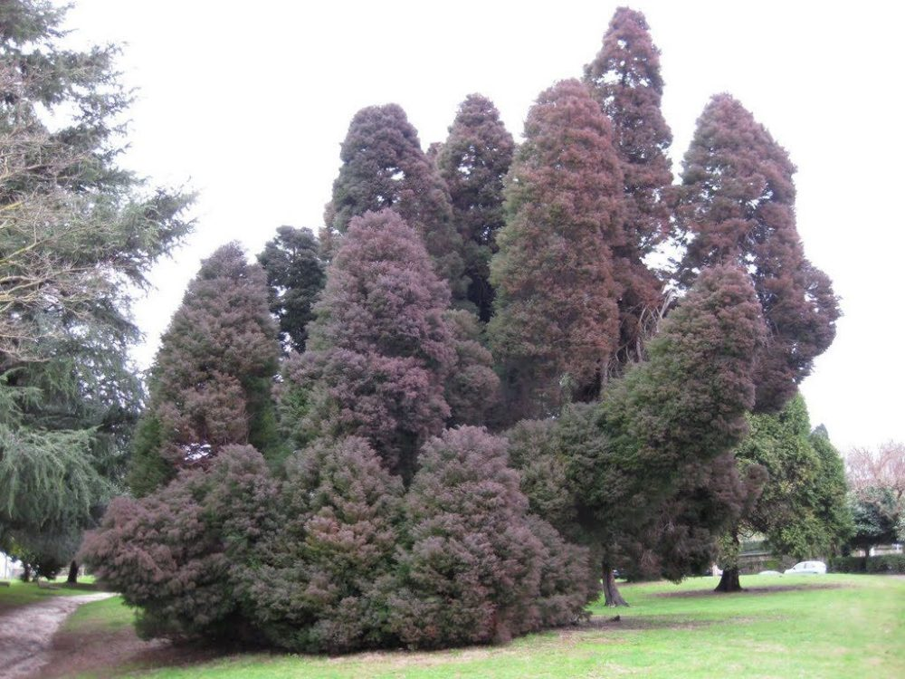 plantines-de-sugi-cryptomeria-japonica-canuelas-D_NQ_NP_424021-MLA20692579990_042016-F