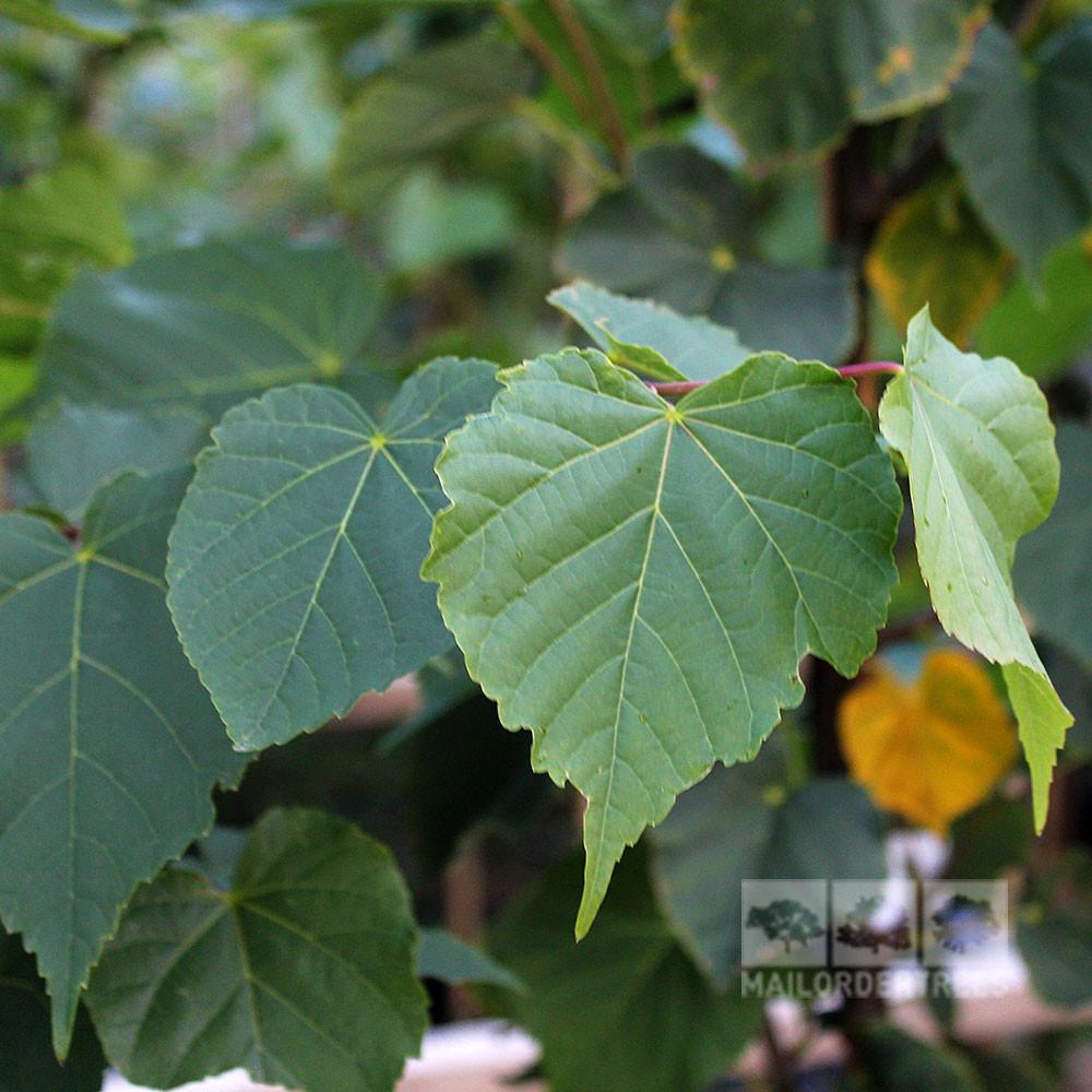 Tilia-cordata-foliage.jpg