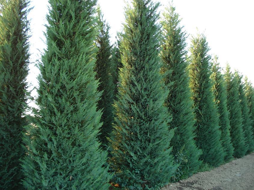 cupressocyparis leylandii - leyland cypress 12