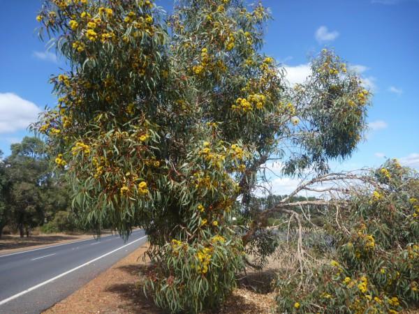 eucalyptus-erythrocorys_red-cap-gum-3-600x450