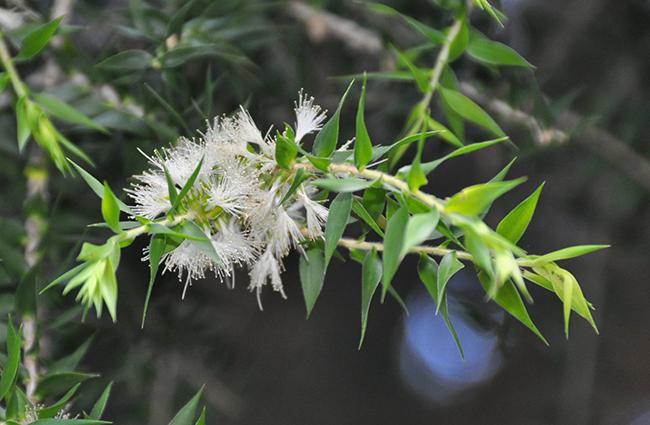 melaleuca-styphelioides-flowers