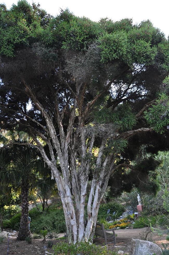 melaleuca-styphelioides-tree
