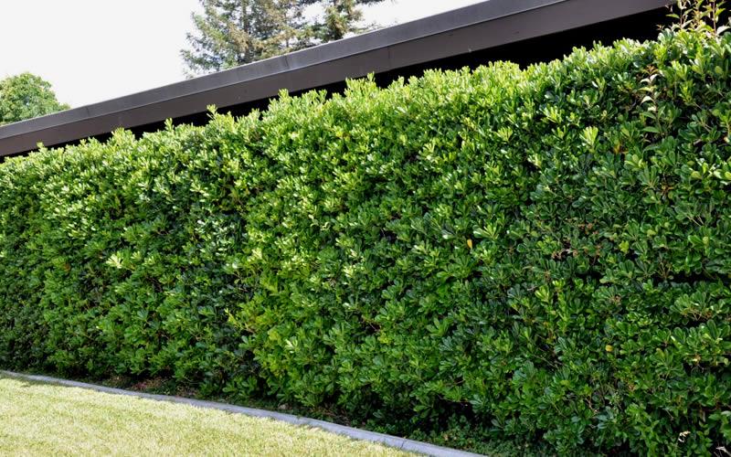 pittosporum-green-tall-hedge