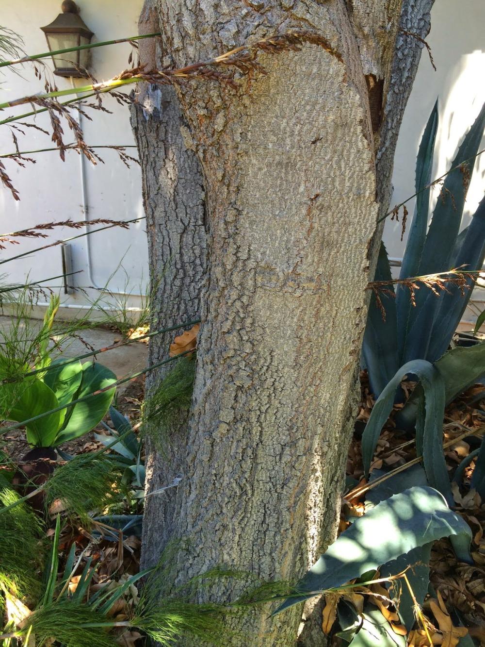 stenocarpus sinuatus bark
