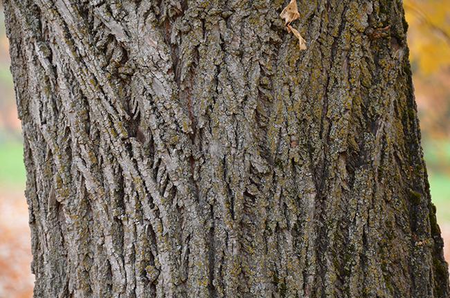 tilia-cordata-bark